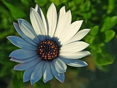 Flower Flowers Daisy Nature Petal Caring Considerate