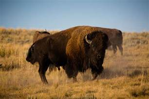 north america bison herd  grow     agdaily