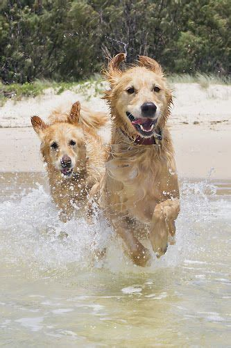 in the sun by aichholzer animals dogs canine water retriever sand