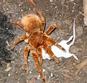 Camel Spider Eating Mouse