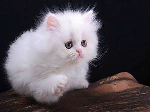 41 Very Cute Persian Kitten Pictures And Images