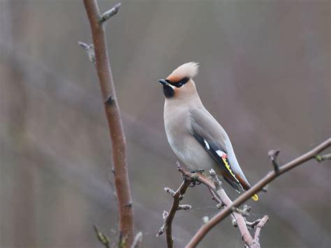 gallery rare sighting flock waxwing birds east