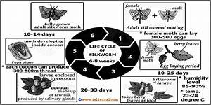 Ielts Writing Task 1  Diagram  Life Cycle Of A Silkworm