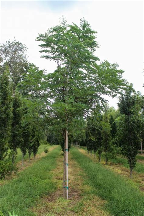Single stem Espresso Kentucky Coffee Tree   Halka Nurseries
