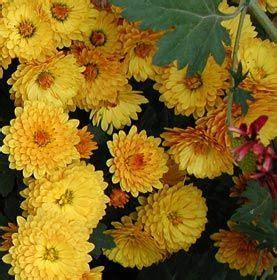 dendranthema hybride balkon chrysanthemum indicum hybride bienchen gartenchrysantheme flower chrysanthemum seruni