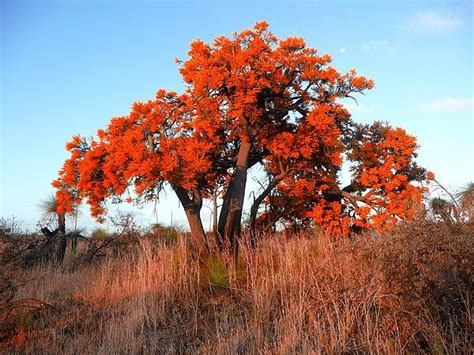 australian christmas tree orange tree art show pinterest