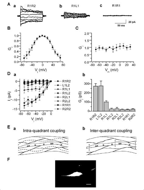Electrical coupling among body-wall muscle cells. A