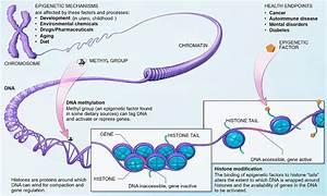 Epigenética - Wikipedia, la enciclopedia libre