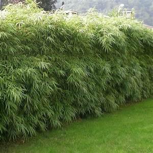 Haie Pas Cher Qui Pousse Vite : bambou pot pas cher ~ Mglfilm.com Idées de Décoration