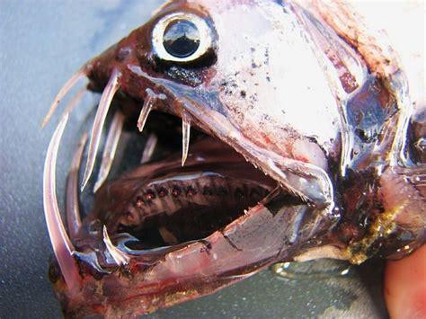 rare deep sea predator viperfish    waste  time