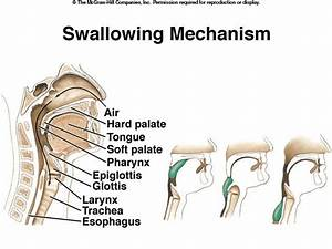 The Process Of Swallowing In Humans