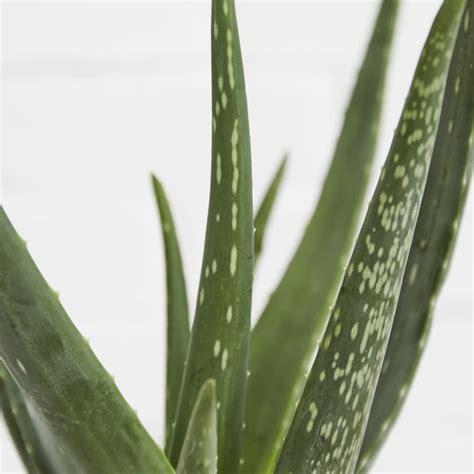 Aloe Vera ? Plants   Patch