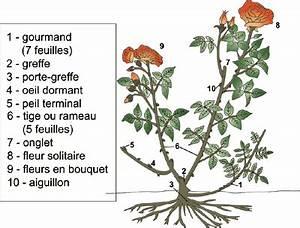 Comment Tailler Les Rosiers : bricolage travaux jardinage plantation rosier taille ~ Nature-et-papiers.com Idées de Décoration