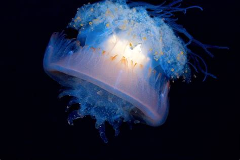 extraordinary jellyfish species mnn mother nature