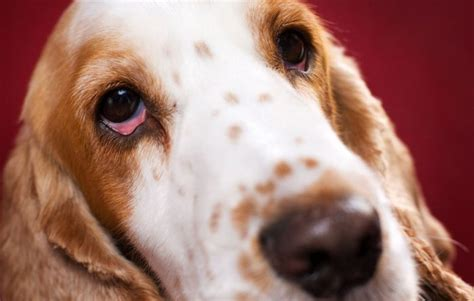red eyes  dogs symptoms treatment pets wiki