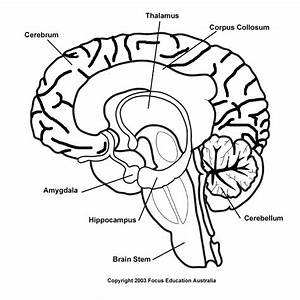 Diagram  Sheep Brain Blank Diagram To Label