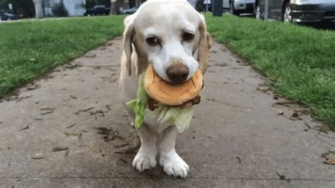 Tiny burgers for your diet. Dog GIF - Find & Share on GIPHY