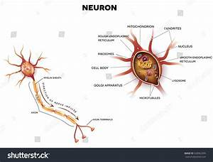 Neuron Nerve Cell That Main Part Stock Illustration
