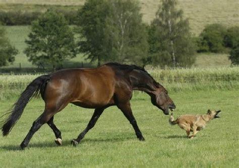 horses attack humans they generally ho main