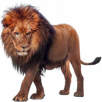 Lion Walking Transparent Background African Clipart Animals
