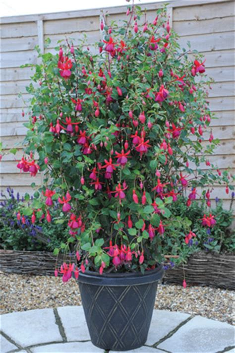 Climbing Fuchsias  Blog At Thompson & Morgan