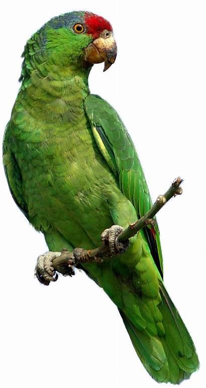 Parrot Burung Ekogeo Bulu