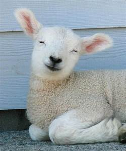 1000+ images about Cutest lamb photos ever on Pinterest
