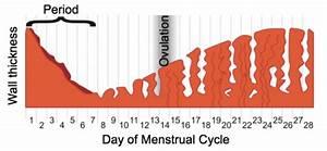 114 Menstrual Cycle