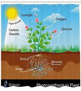 Educational Shower Curtain  Photosynthesis In Plant
