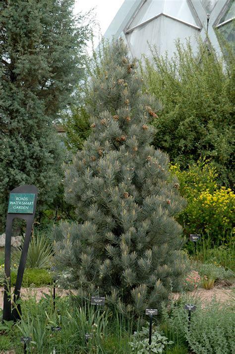 singleleaf pinyon pine pinus monophylla  denver