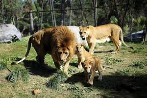 Lion Cubs Born In Chile After World U0026 39 S First Reverse