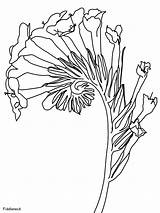 Fiddleneck Coloring Pages Flowers Bloom Plants Coloriage Game Print Coloringonly Depuis Enregistree Ws sketch template