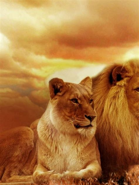 beautiful lion hd wallpapers pictures pc hd wallpapers