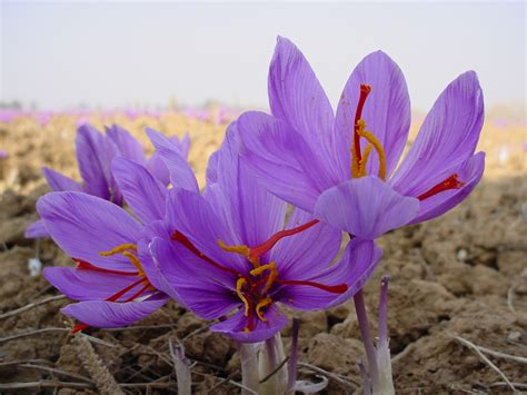 flowers for flower saffron flowers details