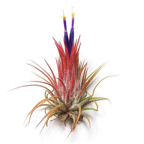 how to make air plants bloom wholesale tillandsia ionantha guatemala air plants air plant supply co