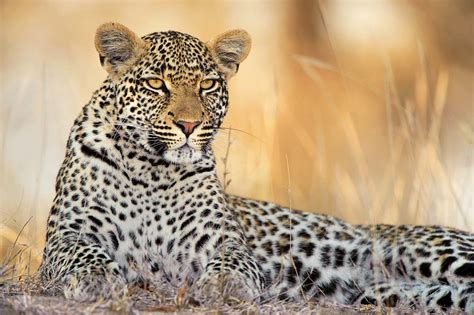 Amazing African Animals: The Amazing African Leopards