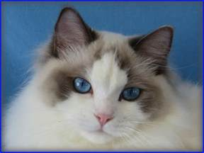 ragdoll cats for our ragdoll cats