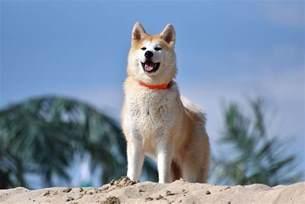 Wikipedia Akita Dog