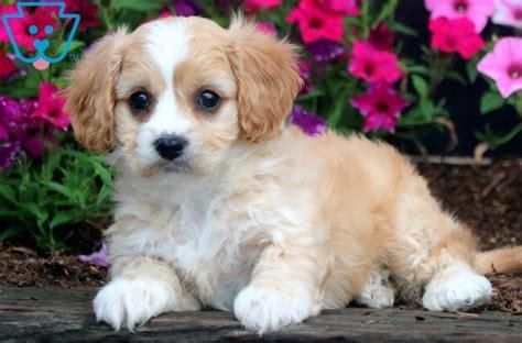 sadie cavachon puppy  sale keystone puppies