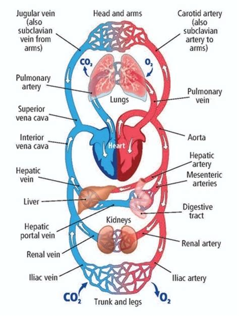 Chapter 31 The Human Circulatory System Leavingcertbiologynet
