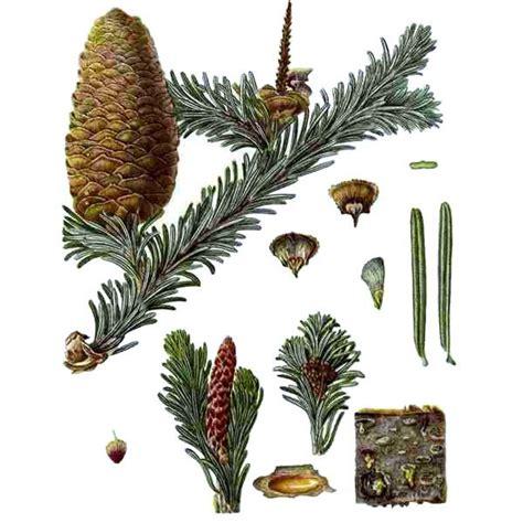 Chémotypes : acétate de bornyle, camphène / Nom botanique ...