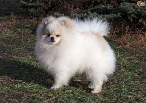 Pomeranian Dog Breed Information, Buying Advice, Photos ...