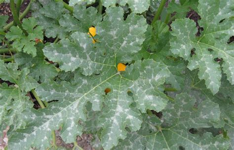 Front Range Food Gardener Telling Powdery Mildew By Its Spots