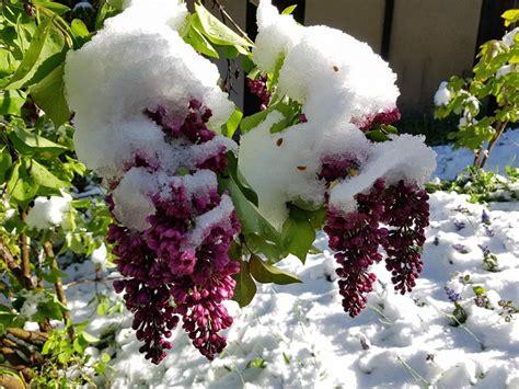 foto fiori bellissimi i fiori avvolti dalla neve bellissimi scatti meteo