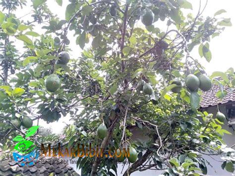 alpukat kendil jual bibit tanaman buah termurah mekar bibit
