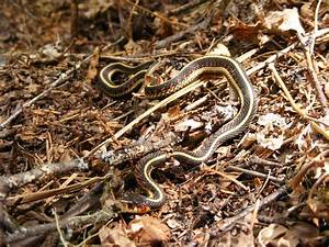 File:Common garter snake, Thamnophis sirtalis, full body ...