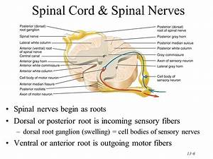 Chapter 13 The Spinal Cord & Spinal Nerves - ppt video ...