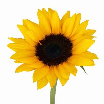 Sunflower Flowers Sunflowers Flower Fall Head Yellow