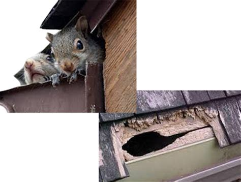 Squirrel Removal Action Pest Control