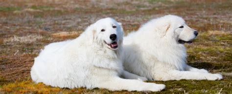 maremma sheepdog dog breed profile petfinder